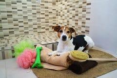 Chien de terrier de Jack Russell se trouvant sur la couverture la salle de bains avec le jouet de favorit Photographie stock