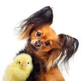 Chien de terrier de jouet et petit poulet Images libres de droits