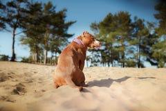 Chien de terrier de Staffordshire américain se reposant dans le sable Photographie stock