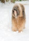 Chien de terrier tibétain se tenant dans la neige Image libre de droits