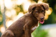 Chien de tintement de chien d'arrêt de canard de Brown la Nouvelle-Écosse Photographie stock