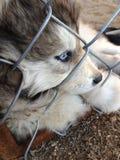 Chien de traîneau aux yeux bleus Photographie stock libre de droits