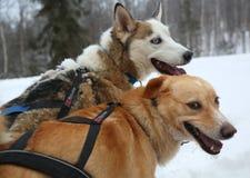 Chien de traîneau d'Alaska au camp de Musher en Laponie finlandaise Photo stock