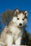 Chien de traîneau d'animal familier Photos stock