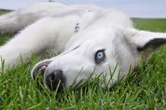 Chien de traîneau dans l'herbe Photos libres de droits
