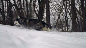 Chien de traîneau dans la forêt d'hiver clips vidéos
