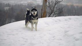 Chien de traîneau dans la forêt d'hiver banque de vidéos