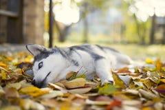 Chien de traîneau dans le jardin d'automne Image libre de droits