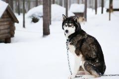 Chien de traîneau dans le rovaniemi Finlande image libre de droits