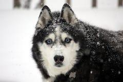 Chien de traîneau dans une tempête de neige Image stock