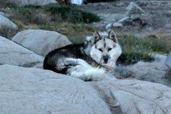 Chien de traîneau domestiqué dans Ilulissat Groenland Photo stock