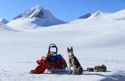 Chien de traîneau en Laponie Photo libre de droits