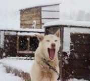Chien de traîneau enroué d'Alaska Photographie stock