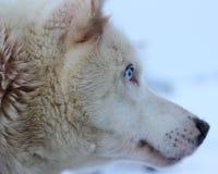 Chien de traîneau enroué d'Alaska Photos stock