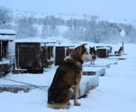 Chien de traîneau enroué d'Alaska Image libre de droits