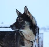 Chien de traîneau enroué d'Alaska Photos libres de droits
