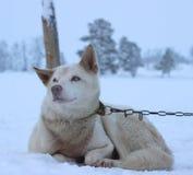 Chien de traîneau enroué d'Alaska Photo libre de droits