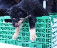 Chien de traîneau enroué d'Alaska Images stock