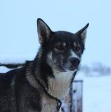 Chien de traîneau enroué d'Alaska Photographie stock libre de droits
