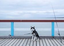 Chien de traîneau et une canne à pêche sur une jetée Photo stock