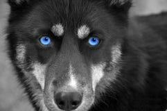 Chien de traîneau observé par bleu Image libre de droits