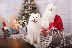 Chien de chien de traîneau de samoyed de deux blancs Décorations de Noël et d'an neuf Chien près de l'arbre de Noël Image libre de droits