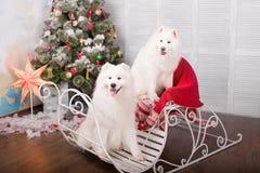 Chien de chien de traîneau de samoyed de deux blancs Décorations de Noël et d'an neuf Chien près de l'arbre de Noël Photos stock