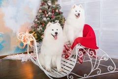 Chien de chien de traîneau de samoyed de deux blancs Décorations de Noël et d'an neuf Chien près de l'arbre de Noël Photographie stock