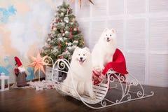 Chien de chien de traîneau de samoyed de deux blancs Décorations de Noël et d'an neuf Chien près de l'arbre de Noël Photographie stock libre de droits
