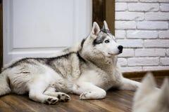 Chien de traîneau sibérien à la maison se trouvant sur le plancher mode de vie avec le chien Images libres de droits