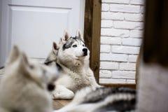Chien de traîneau sibérien à la maison se trouvant sur le plancher mode de vie avec le chien Photos stock