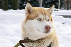 Chien de traîneau sibérien Photo stock