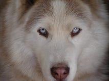 Chien de traîneau sibérien Images libres de droits