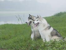 Chien de traîneau sibérien Photo libre de droits