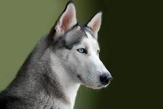 Chien de traîneau sibérien aux yeux bleus Images libres de droits