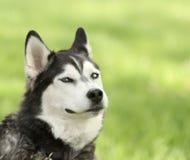 Chien de traîneau sibérien avec l'expression souriante d'un air affecté Photographie stock libre de droits