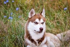 Chien de traîneau sibérien avec l'oeil bleu à l'herbe verte Image stock