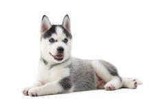 Chien de chien de traîneau sibérien de chiot avec des yeux bleus se trouvant sur le plancher Photo stock