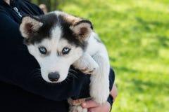 Chien de traîneau sibérien de chiot mignon noir et blanc avec des yeux bleus sur Photographie stock