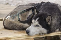 Chien de traîneau sibérien image stock