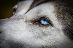 Chien de traîneau sibérien d'yeux bleus Images stock