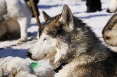 Chien de traîneau sibérien dans la neige Photos libres de droits