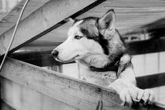Chien de traîneau sibérien dans la pose élégante Photographie stock libre de droits
