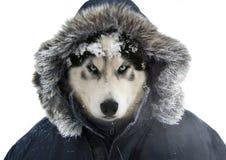 Chien de traîneau sibérien dans un habillement chaud et humain Photographie stock libre de droits
