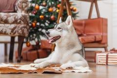 Chien de traîneau sibérien de chien près d'arbre de Noël Images libres de droits