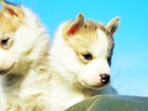 Chien de traîneau sibérien de chiot Images stock