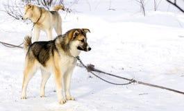 Chien de traîneau sibérien de chiot de chien de traîneau Photos libres de droits