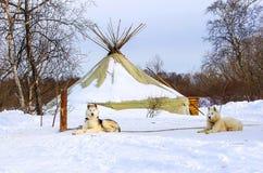 Chien de traîneau sibérien de chiot de chiens de traîneau sur le Kamtchatka Photographie stock libre de droits