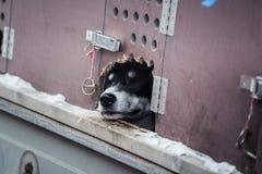 Chien de traîneau sibérien de fond dans la cage attendant une course Photos stock