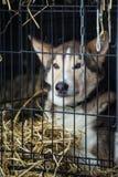 Chien de traîneau sibérien de fond dans la cage attendant une course Photographie stock libre de droits
